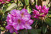 Rhododendrons, Azaleas, and other heath family shrubs : Rhododendron as a genus comprises more than 1000 species.  They belong to the family Ericaceae, the heath family.  Native species are found worldwide except on the continents of Africa and South America.  Azaleas constitute two sub-genera of the genus.  Numerous hybrids have been developed.  I won't always be able to identify species, hybrid, or cultivar, but wherever readable tags are found, I'll include that information.  Caveat:  tags aren't always correct, and often are taxonomically out of date.  Other members of the family are, confusingly, called laurels.  The confusion is that the term laurel is really most appropriately reserved for members of the Lauraceae family.
