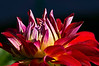 "Dahlias : Wikipedia says of dahlias:  ""Dahlia is a genus of bushy, tuberous, herbaceous perennial plants native to Mexico, Central America, and Colombia. A member of the Asteraceae or Compositae, dicotyledonous plants, related species include the sunflower, daisy, chrysanthemum and zinnia. ""  This doesn't begin to convey the rich variety of colors, shapes, and sizes to be found among the cultivated varieties, many of them hybrids.  Rather uncharacteristically for me, I found myself photographing a number of dahlias in public gardens recently without bothering to document, where available, their identification tags.  I guess I just decided to let the blooms speak for themselves.  The emphasis is on closeups, but there are a few shots that show them in the context of their surroundings. Enjoy!  Since this is a newly (2012) created gallery, I've decided to make this the 'original gallery' for any recent shots of dahlias, but just collect here my older shots of dahlias, leaving those pictures in their original 'original' galleries."