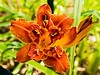 Lilies from A to Z : This is a gallery for pictures of all types of lilies:  wild or cultivated; indoors or outdoors; hybrids and non-hybrids; you name it.