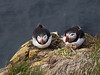Atlantic puffins (Fratercula arctica)