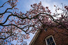 D122-2013 Saucer magnolia