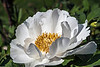 Peony season!  Hurray!