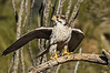 Prairie Falcon, Falco mexicanus.