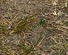 Maybe a Western Pondhawk (Erythemis collocata) or maybe a Green Clearwing aka Eastern Pondhawk (Erythemis simpliciocollis).<br /> <br /> Dow Prairie, Nichols Arboretum, Ann Arbor, Michigan<br /> July 20, 2012<br /> (nex5n)