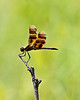 """Halloween Pennant dragonfly (Celithemis eponina), Family  Libellulidae.<br /> I know it isn't the sharpest focus.  I was 20-30 feet away, and only had a 200mm lens, handheld.  Apart from that, my shot is amazingly similar to one posted on Wikipedia.  Perching on the tip of a weed stalk seems to be a common behavior of this species.<br /> FYI, I was able to identify this initially from a photo on Flickr posted by Vicki DeLoach ( <a href=""""http://www.flickr.com/people/vickisnature/"""">http://www.flickr.com/people/vickisnature/</a> ).  Check out her wonderful site if you're interested in dragonflies, damselfies, and butterflies in particular.<br /> <br /> This brown beauty has distinctive brown stripes and patches on the wings and scarlet stigmas on the leading edges of fore and rear wings.  Also there is a red stripe down its back.  That probably, but not certainly, means it's a male.  It was seen on a tall grass prairie remnant that is a few hundred yards from the Huron River.<br /> <br /> Dow Prairie, Nichols Arboretum, Ann Arbor, Michigan<br /> July 20, 2012<br /> (nex5n)"""