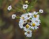 Late season pollinator on heath asters