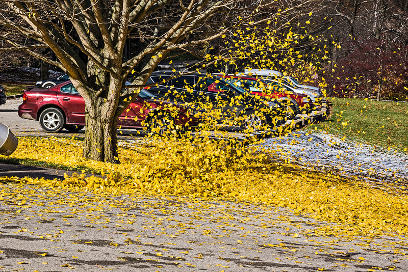 Flying colors - ginkgo leaf wrangling<br /> <br /> DP318-2013  Posted November 14; processed ditto<br /> <br /> This past Monday we had rain all day, and as temperatures fell in the afternoon, the rain began to change to snow.  Overnight many of the trees in the area dropped large portions of their remaining leaves, and on Tuesday the ground beneath those trees was carpeted with freshly fallen leaves atop the light snow cover.  Since it was sunny, if cold (!!!), I went for an outing to Hidden Lake Gardens.  The grounds keeping crew was busy 'rounding up' these fallen leaves.  The sight was particularly striking around this large ginkgo tree.<br /> <br /> Hidden Lake Gardens, Michigan<br /> Taken Tuesday, November 12, 2013