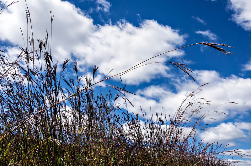 Shout hallelujah!<br /> Prairie grasses like hands raised in praise.<br /> <br /> DP250-2013  Posted September 7; processed ditto.<br /> <br /> Dow Prairie (a restoration of tall grass prairie), Nichols Arboretum<br /> September 3, 2013