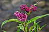 D183-2013  Swamp milkweed, beautiful in bud and blossom.  Asclepias incarnata.<br /> Rivaled only by the brilliant orange butterflyweed among Asclepias species, in my mind.  The colors really are this vivid seen live.<br /> <br /> DP192-2013  Posted July 11; processed ditto<br /> .<br /> Kent Lake, Kensington Metropark, Michigan<br /> Taken July 2, 2013<br /> <br /> Huge thanks to all who took time to look at and comment on yesterday's post of the clouds over Kent Lake.  I'm a bit of a nut about clouds, but that was my first cloud picture posted in the Dailies.  So happy you liked it!