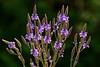 Pale purple wildflower - vervain