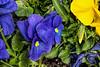 Planter Pansies