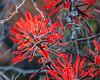 Indian Paintbrush, Sedona, Arizona