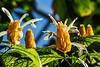 Pachystachys lutea - Golden Shrimp Plant Glowing in the Light