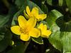 Merry Gold - Marsh Marigold