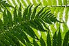 Fern Frond Canopy