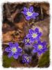 Hepatica - Mixing Art and Nature - Impasto Impressions