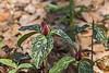 Rare for this area - Prairie Trillium