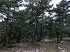 Pine grove seen in passing