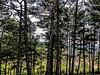 Village behind the pines