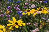 D201-2012 Rudbeckia and Bachelor Buttons (aka Cornflowers) in a range of hues.<br /> .<br /> Matthaei Botanical Gardens, Ann Arbor, Michigan.<br /> July 20, 2012.<br /> (nex5n)