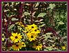 D201-2012 Black-eyed Susans and the unidentified magenta plumes or spikes make a bold display.<br /> .<br /> Matthaei Botanical Gardens, Ann Arbor, Michigan.<br /> July 20, 2012.<br /> (nex5n)