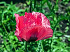 D157-2013 Poppy, Papaver orientale 'Raspberry Queen'<br /> .<br /> Perennial Garden at the Matthaei Botanical Gardens,<br /> Ann Arbor, Michigan<br /> June 6, 2013