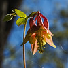 D134-2015  Wild columbine, Aquilegia canadensis<br /> <br /> Hidden Lake Gardens, Michigan<br /> May 14, 2015