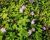 D134-2015  Wild geranium (Geranium maculatum) with a few wild blue phlox and one lone, unwanted, garlic mustard (the tiny white flower).<br /> <br /> Woodland drive, Hidden Lake Gardens, Michigan<br /> May 14, 2015
