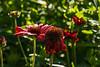D178-2014  Dew on flowers:  Gaillardia or Blanket Flower<br /> <br /> Butterfly Garden at Gallup Park, Ann Arbor, Michigan<br /> June 27, 2014