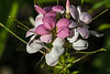 D178-2014  Dew on flowers:  <br /> <br /> Butterfly Garden at Gallup Park, Ann Arbor, Michigan<br /> June 27, 2014