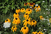 D204-2008 Black-eyed Susans, Sweet Cicely, Queen Anne's Lace<br /> (Binomial names, respectively:  Rudbeckia hirta, Osmorhiza claytoni, Daucus carota)<br /> <br /> July 23, 2008<br /> SE Michigan