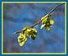 D094-2012 Samaras (fruit) of an American elm (Ulmus americana)<br /> <br /> Forest Hill Cemetery, Ann Arbor<br /> April 4, 2012<br /> (nex-5)