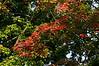 Acer 01a 14<br /> D260-2012 Sugar Maple<br /> .<br /> Curbside, Ann Arbor, Michigan<br /> September 17, 2012