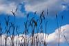 Big Bluestem against a blue sky