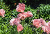 D157-2013 Poppy, Papaver orientale 'Cedar Hill'<br /> .<br /> Gardens at the Matthaei Botanical Gardens,<br /> Ann Arbor, Michigan<br /> June 6, 2013