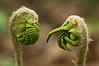 D110-2012 ferns type A (one of four types)<br /> Heathdale area<br /> <br /> Nichols Arboretum, Ann Arbor, Michigan<br /> April 20, 2012<br /> (nex5n)