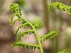 D110-2012 ferns type B (one of four types)<br /> Heathdale area<br /> <br /> Nichols Arboretum, Ann Arbor, Michigan<br /> April 20, 2012<br /> (nex5n)