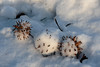 Gum balls.<br /> <br /> Seed pods from a sweetgum tree.