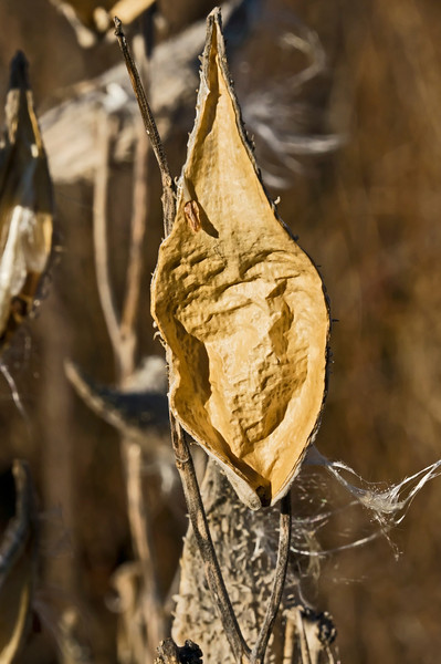 To a photographer (this one, anyway) the empty milkweed pod can be as interesting as the one filled with seeds and floss or down.<br /> <br /> Cattail pond, Matthaei Botanical Gardens,<br /> Ann Arbor, Michigan<br /> November 27, 2012