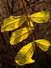 Wild rose leaves, seen contré jour<br /> <br /> Eugene, Oregon<br /> December 30, 2010