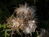 Thistle seeds awaiting their fates...to be eaten or dispersed by the wind.<br /> <br /> Gallup Park,<br /> Ann Arbor, Michigan<br /> September 2011