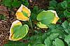 Autumn transformations<br /> Dying, curling hosta leaves.<br /> <br /> An alternative version (framed, processed, slightly cropped) can be seen in the Nature/Vegetation/Non-floral Vegetation gallery.<br /> <br /> Toledo Botanical Gardens,<br /> Ohio<br /> September 6, 2011