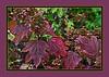 Oakleaf Hydrangea (Hydrangea quercifolia), already starting to turn.<br /> (Frame version 1)<br /> The shrub is native to the Southeastern United States, preferring woodland habitats.<br /> <br /> Toledo Botanical Gardens,<br /> Ohio<br /> September 4, 2011