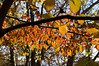 D309-2012 Backlit leaves of a flowering dogwood.<br /> .<br /> Toledo Botanical Garden, Ohio<br /> November 5, 2012