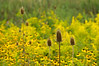 D244-2012 Teasel sentinels for an ocean of what looks to be some kind of rudbeckia along with the ubiquitous goldenrod.<br /> .<br /> Hidden Lake Gardens, Lenawee County, Michigan.<br /> September 1, 2012