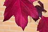 D268-2014  Oak leaf hydrangeas can turn brilliant colors in autumn<br /> <br /> Matthaei Botanical Gardens, Ann Arbor<br /> Taken September 25, 2014