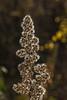 Silver spike of goldenrod