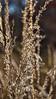 Silvery seed heads of prairie grass